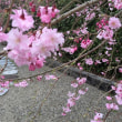 『垂れ八重桜』