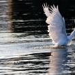 8/16探鳥記録写真-2(8月上旬に出会った鳥:ホウロクシギ、キアシシギ、ミサゴの狩ほか)