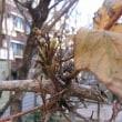 ハコネウツギ(箱根空木)