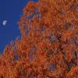 メタセコイヤに月
