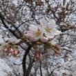 4月2日 桜も開花