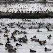 瓢湖(ひょうこ)白鳥(鴨)の湖