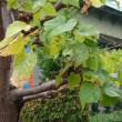 マハーボーディの木