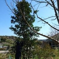 月桂樹(ローリエ)の剪定
