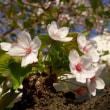 2018年3月31日の隅田川の桜