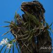 フウラン山採り流木付けの花