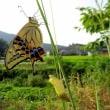 羽化直後の揚羽蝶