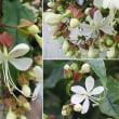 クラリンドウの花は