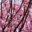 『春の色』 満開の
