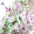 咲き競う杜鵑草