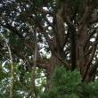 福島県会津若松市、一箕八幡神社の天狗杉です!!