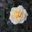 秋の薔薇1020