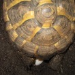 ニシヘルマンリクガメの孵化仔 産み残し産卵