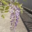 一房咲いた藤の花!