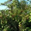 フィトラッカ・アメリカナ Phytolacca americana