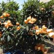 20180506記録(kata54)、枇杷の木に袋の花満開