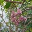 季節の花「木通 (あけび)」