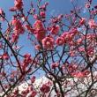 梅を観てきました