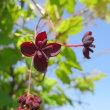 ミツバアケビの花