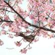 河津桜を愛でる 。。。