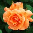 神代植物公園・雨上がりのバラ