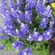 ブルーサルビア・葉ケイトウを入荷致しました。(花壇植え用)