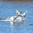 白鳥走る 1