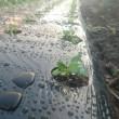 ハウス種まき、定植