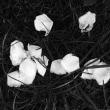 地面に落ちたバラ