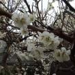 庭にも春が(*^▽^*)