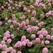 <ヒメツルソバ(姫蔓蕎麦)> ヒマラヤ地方原産の帰化植物