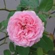 """17/9/20  """"LA VIE EN ROSE"""" ダブルデライト他"""
