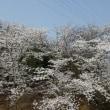 つくば実験植物園の桜満開