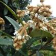 平和への希い1358 ビワの花