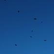 早朝の宝篋山で猛禽が乱舞