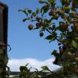 ヒメリンゴの実がたくさん