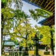 綾部神社の大銀杏