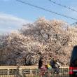 岡崎疏水 桜 満開(╹◡╹)♡