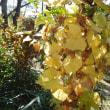 舞岡公園ぶらり2 紅葉黄葉*フユノハナワラビ
