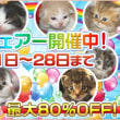 子猫大幅お値下げ中/ペット子猫販売店/宮城県/石巻市