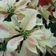 季節の花「ポインセチア」