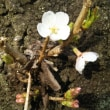 ようやく桜開花宣言