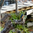 鹿沼公園でカワセミに会えた!