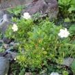 今年の初花「くちなしの花」3つ。