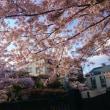 今年の桜。