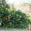 柚子のマーマーレード