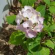 挿し木したアジサイの花