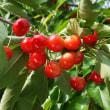 さくらんぼの季節到来。収穫しても全量出荷できない?果樹農家の事情