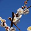 ☆春の訪れ...岩本山の梅♪