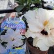 プルメリアの花芽が出ました~!!